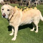 Il cane adotta i nove anatroccoli orfani: il labrador Fred diventa una star del web