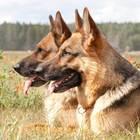 Tentano l'irruzione nella villa: ladri messi in fuga dai cani