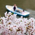 Fioriscono i ciliegi: cos'è l'hanami e dove ammirarlo a Tokyo