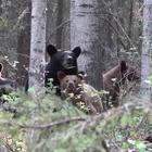 Fotografo si avvicina troppo, mamma orso lo attacca per proteggere i cuccioli