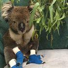 Morto Billy, il koala simbolo della distruzione degli incendi in Australia