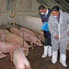 Peste suina, sequestrate 10 tonnellate di carni provenienti dalla Cina