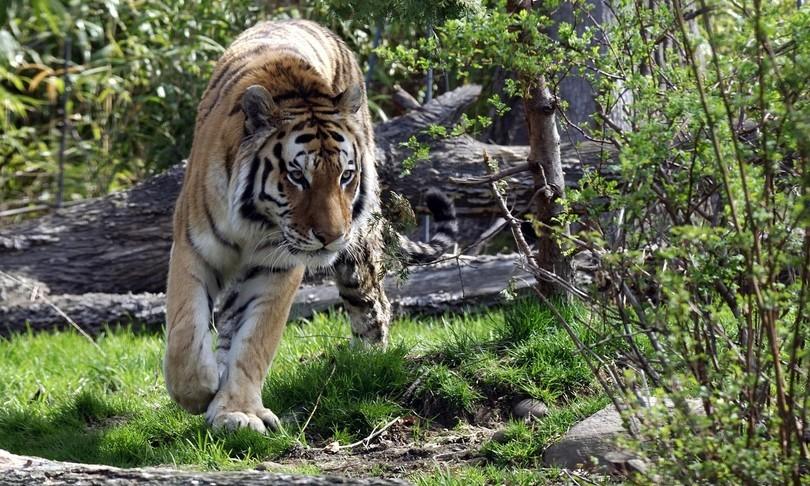 Coronavirus, tigre dello zoo del Bronx positiva: infettata dal dipendente del giardino